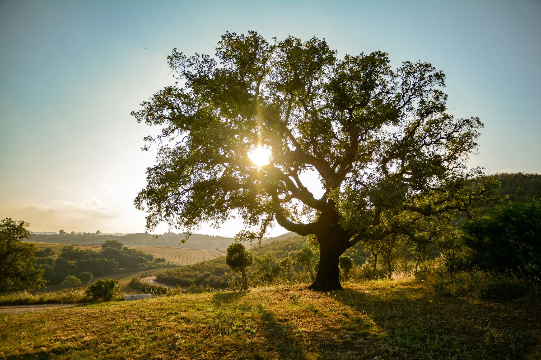 Portugal - Alte Korkeiche in der Abendsonne