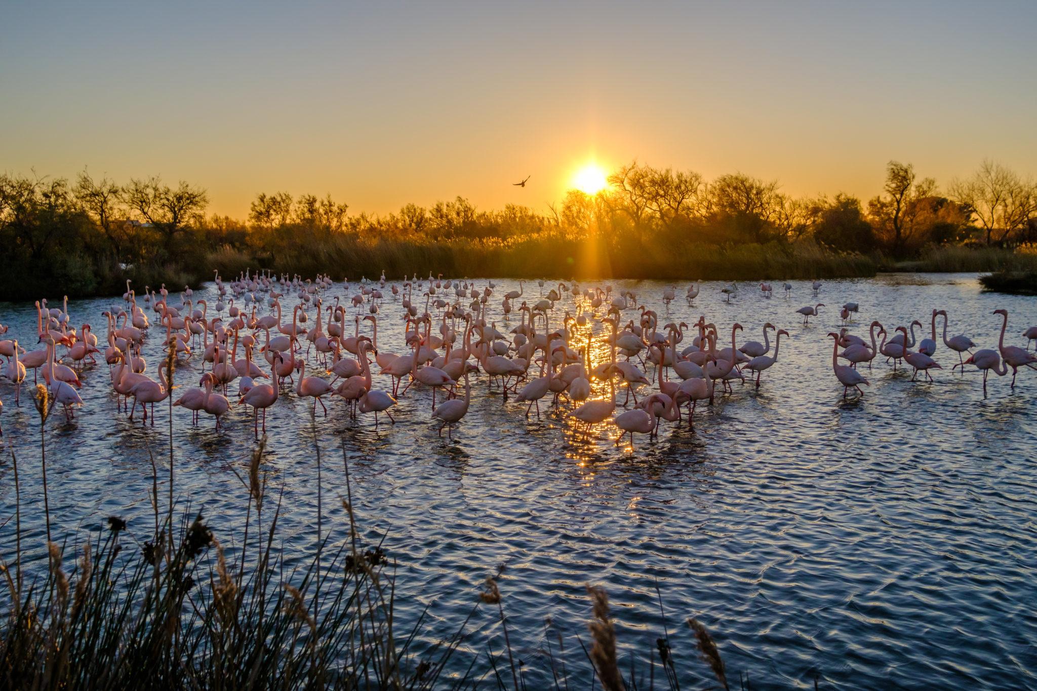 Flamingos im Sonnenuntergang der Camargue
