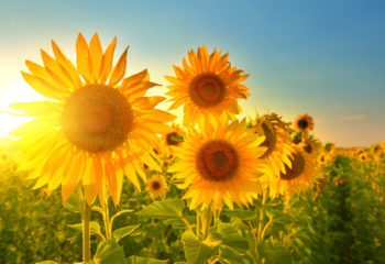 Sonnenblumen Feld im August